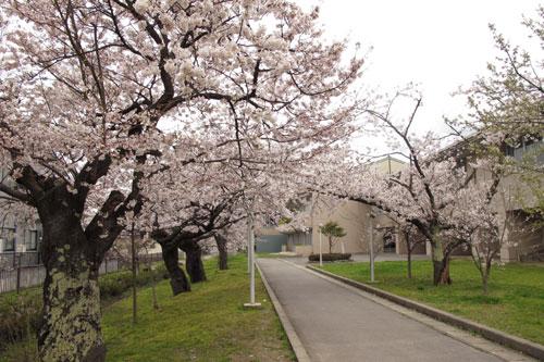 22.4.15水小桜並木